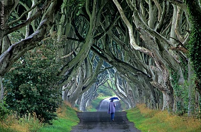 [BRITAIN.IRELANDNOR 21.865] 'Beech cathedral.' At Stranocum, east of Coleraine, the mysticism of Ireland is embodied by this splendid tunnel of beech branches wich arch up like the vaults of a gothic cathedral. Photo Mick Palarczyk.