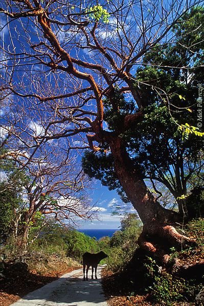 [ANTILLES.stEUSTATIUS 25.610] 'Tourist Trees.' The reddish branches of Turpentine trees (Bursera simaruba) arch over a small country road east of the Quill, St.Eustatius' dormant volcano. Photo Mick Palarczyk.