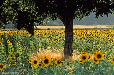[FRANCE.ALPSSOUTH 24.380] 'Sunflowers in Drôme valley.'  Near Molires-Glandaz, south of Die, the Drôme valley colours yellow with fields of sunflowers. Photo Mick Palarczyk.