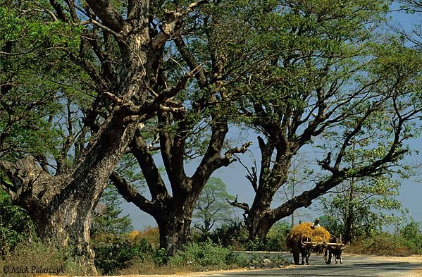 [BURMA 24.760] 'Acacias.' In the Sittaung Valley north of Lewe an ox drawn hay-wagon lumbers on a road lined with ancient acacias. Photo Mick Palarczyk.
