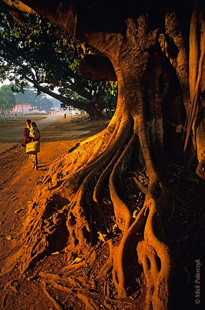 [BURMA 24.786] 'Tree at Pindaya.'  The gnarled roots of an ancient tree catch the first sunlight at Pindaya, in the highlands north of Kalaw. Photo Mick Palarczyk.