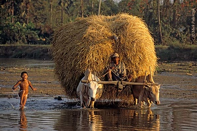 [BURMA 24.730] 'Hay-wagon and boy.' Accompanied by a bathing boy an ox drawn hay-wagon is crossing a tributary of the Sittaung River at Taungoo. Photo Mick Palarczyk.