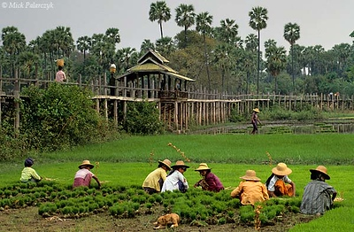[BURMA 24.969] 'Stilted walkway at Ma Au village.'  In a field at Ma Au village on the west bank of the Chindwinn River, a group of women is collecting young rice plants that are about to be replanted in the watery field at the base of the stilted walkway. Photo Mick Palarczyk.