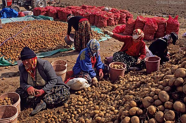 [TURKEY.CENTRAL 26914 'Sorting out potatoes.'  	Near the Cappadocian village of Güzelyurt a group of women is sorting out potatoes. Photo Mick Palarczyk.