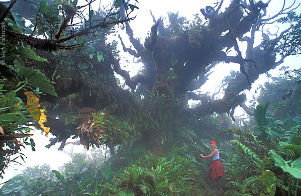 [ANTILLES.SABA 25.541] 'Monster tree'.	 In the cloud (Elfin) forest on the top of Mt.Scenery a Mountain mahogany thrusts out its moss covered limbs into the foggy sky as some alien monster. Photo Mick Palarczyk.