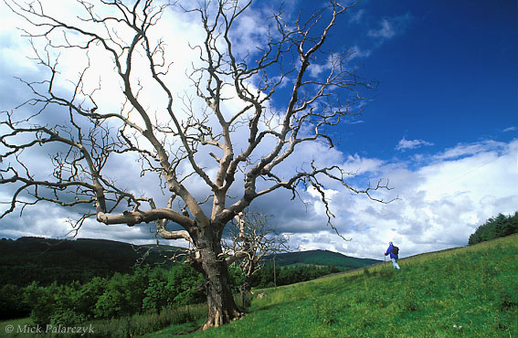 [BRITAIN.SCOTLAND 23.509] 'Dead tree'.	 On the slope of the Tweed valley north of Selkirk a dead oak tree is just managing to keep upright. Photo Mick Palarczyk.
