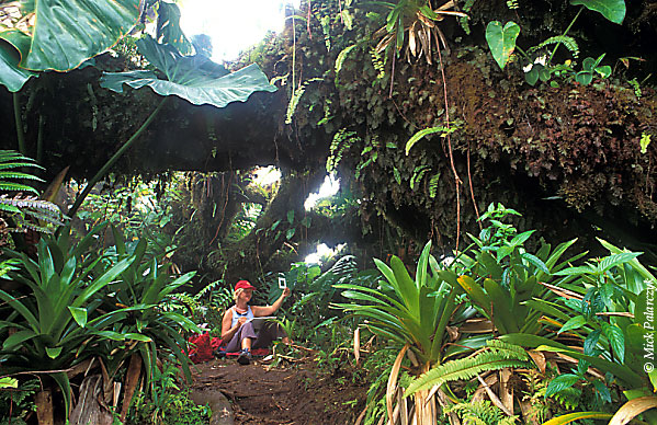 [ANTILLES.SABA 25.548] 'Artist's paradise'.	 On the summit of Mt.Scenery the Elephant ears, Mountain mahoganies and bromeliads of the cloud forest form an inspiring subject for an artist. Photo Mick Palarczyk.