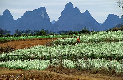 [CHINA.GUANGXI 25.323] 'Flowering fields.' Flowering fields at the foot of lime-stone mountains near Shazi, 20 km east of Yangshuo. Photo Mick Palarczyk.