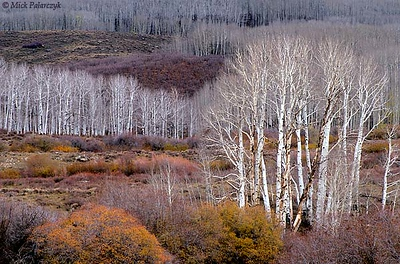 [USA.UTAH 28134 'Aspens north of Boulder.'  The white trunks of American aspens (Populus tremuloides) form a bright contrast with the orange and purple-grey undergrowth on the slopes of the Dixie National Forest north of Boulder. Photo Mick Palarczyk.