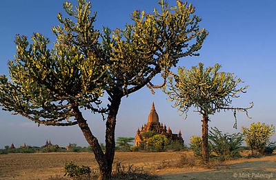 [BURMA 24.940] 'Cactoid trees.'	 Cactoid trees near a small temple on the Bagan plain west of Pwasaw village. Photo Mick Palarczyk.