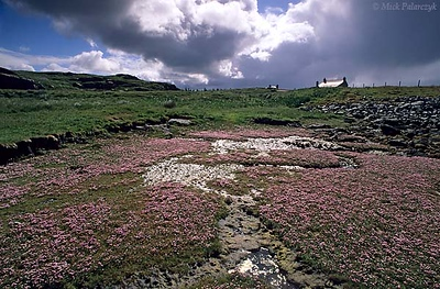 [BRITAIN.HEBRIDES 27688] 'Mud-flat on Great Bernera.'  A mud-flat on the southern shore of Great Bernera is covered in flowers. The Isle of Great Bernera was linked to the north coast of Lewis by a bridge in 1953. Photo Mick Palarczyk.