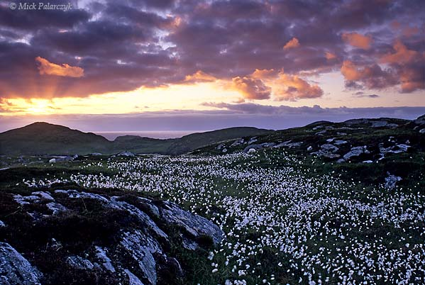 [BRITAIN.HEBRIDES 27704] 'Cotton grass near Carloway.'  The plumes of common cottongrass cover the undulating landscape west of Carloway on the northern shore of the Isle of Lewis. The rounded forms of Lewis' rocks were formed by the scouring action of glaciers during the ice ages. Photo Mick Palarczyk.