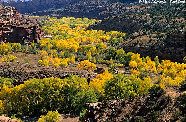 [USA.UTAH 28119 'Cottonwoods in Escalante floodplain.'  In autumn the floodplain of the Escalante River (seen here east of the town of Escalante) colours brilliantly yellow with the leaves of cottonwoods. The Fremont cottonwood (Populus fremontii) is exceptionally tolerant of flooding, erosion and flood deposits filling around the trunk. The tree derives its name from cottony structures around its seeds which allow them to be blown long distances. Photo Mick Palarczyk & Paul Smit.