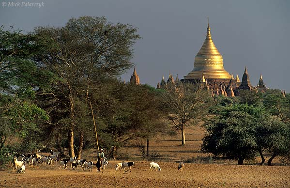 [BURMA 24.935] 'Dhammayazika Stupa.' Near Pwasaw village on the Bagan plain, a shepherd leads his goats from one acacia tree to the next. He carries a long pole with a hook with which he shakes seed-pods from the trees that serve as food for the animals. In the background shimmers the golden dome of the Dhammayazika Stupa. Photo Mick Palarczyk.