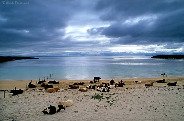 [IRELAND.DONEGAL 21.771] 'Cows on beach.' On the shore of Donegal Bay near St. John's Point, cows have chosen a tranquil beach to ruminate. Photo Mick Palarczyk.