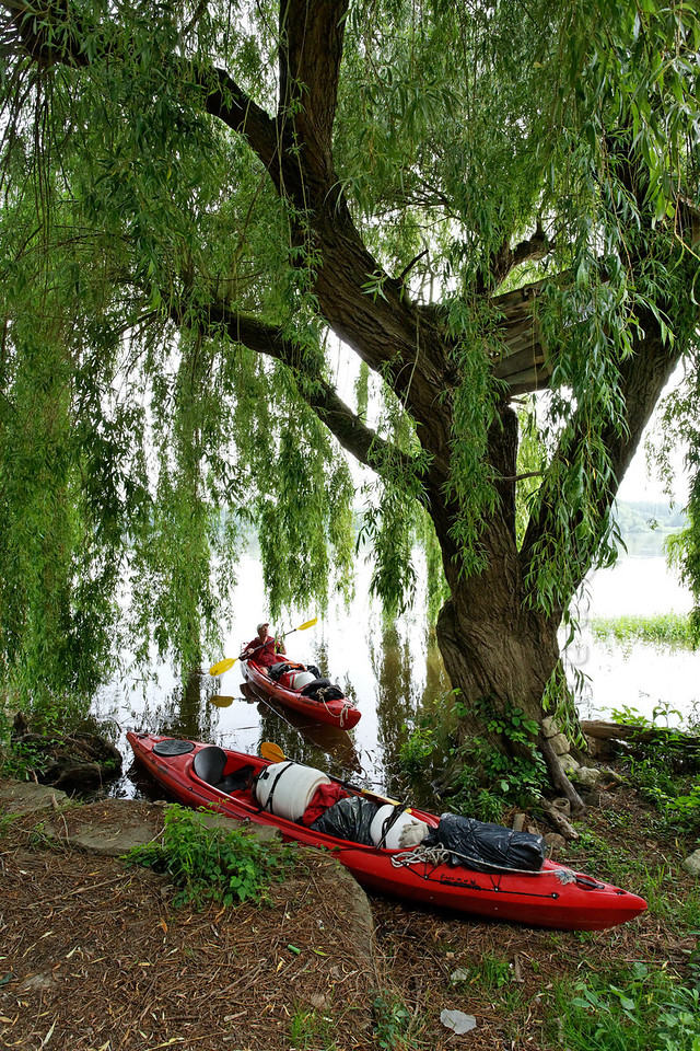 [FRANCE.LOIRE 10861] 'Tree hut in Weeping Willow.'  At Candes-Saint-Martin a kayaker checks out a Weeping Willow on the Loire bank which shelters a hidden tree hut among its branches. Photo Paul Smit.