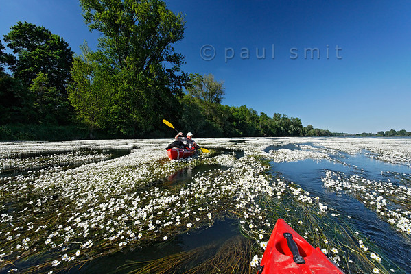 [FRANCE.LOIRE 10805] 'Kayaker surrounded by River Water-crowfoot.'  When you paddle down the Loire, soon after Orléans you will be in for a surprise. What looked like banks of white gravel in the distance, happen to be tapestries of flowering River Water-crowfoot (Ranunculus fluitans; NL: Vlottende waterranonkel), seen here at Beaugency. Rooted in the riverbed, the plants produce strands of up to 6 meters in length, stretched out in the current and waving. Let the flow enter you into these floating gardens, flowering from june till august. Watch the bees come and go to the white flowers with their yellow hearts. But mind you, you can get stuck! Photo Paul Smit.