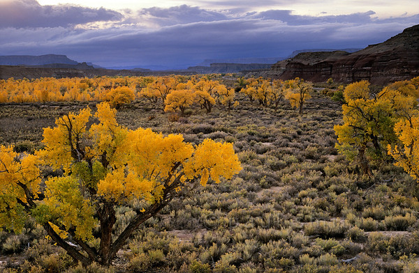 [USA.UTAH 28177] 'Cottonwoods in Fremont valley.'  The yellow autumn colours of Fremont cottonwoods (Populus fremontii) in the floodplain of the Fremont River west of Hanksville glow magically in the last light of the evening. Photo Paul Smit.