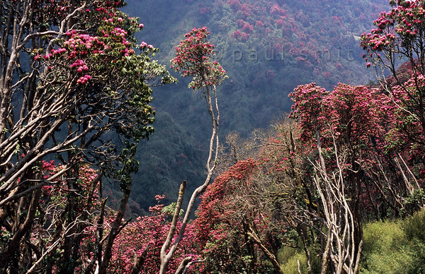 [NEPAL 27110] 'Flowering rhododendron forest.'  In april the mountain ridge between Ghorepani and Deurali in the Annapurna Conservation Area is covered in flowering rhododendron forests. Photo Paul Smit.