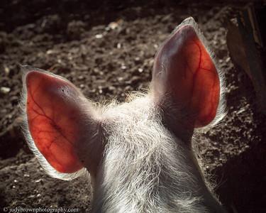 Gromit's Ears
