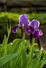Irises in Moravian churchyard, Bethlehem PA