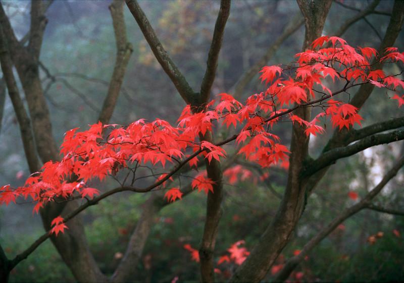 Red leaves, Richmond Park