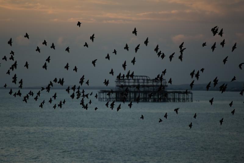 Swallows, Brighton West Pier