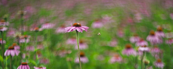 Coneflower Dream