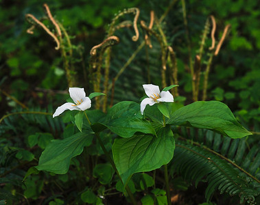 While out hiking with my sons, I found these trilliums tucked in next to an unfurling fern as some nice evening light filtered in. Between my 1 yr-old pulling on me and my dog getting in the way, I'm surprised it turned out as well as it did. I had to work quick!  Additional Print Options:  Museum Quality Fujiflex Supergloss Print:  8 x 12/$65 12 x 18/$125 16 x 24/$250  To place an order, please email.