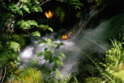 Tiger Lilies Aglow
