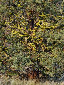 Juniper and Wolf Lichen