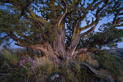 Twilight Juniper