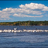 32104LkPalestinePelicans_3-A