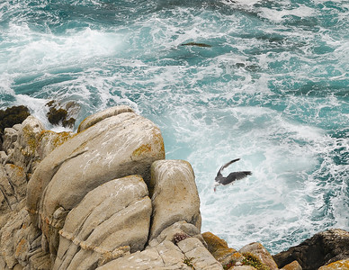 Plunging Gull Over the Edge, Point Lobos State Reserve, California