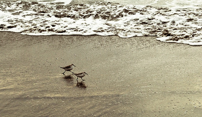 The Sandpipers Have Someplace Important To Go