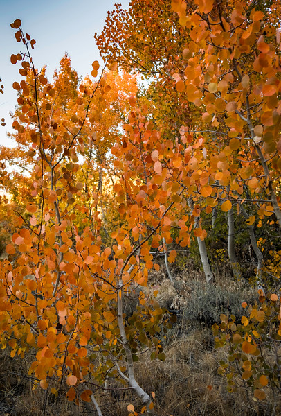 Aspens Turning, Fall, Bishop Creek
