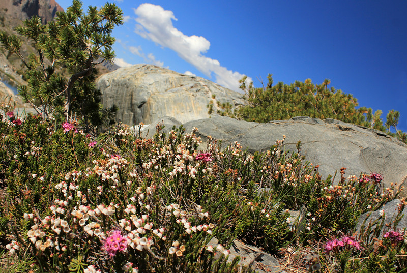 Cassiopiea in Bloom, 20 Lakes Basin