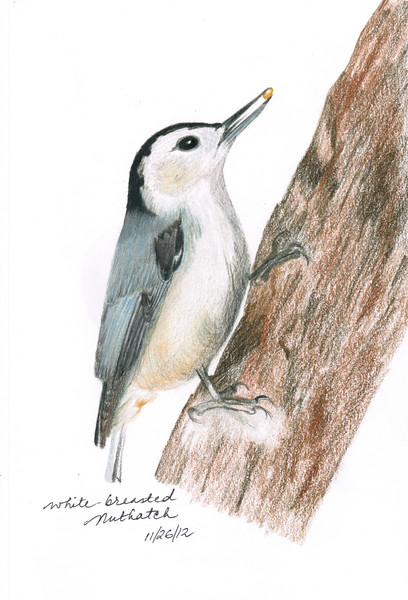 White-breasted Nuthatch - November, 2012