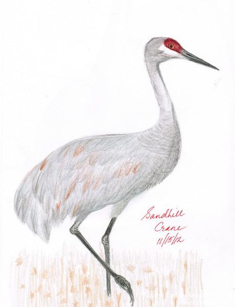 Sandhill Crane - November, 2012