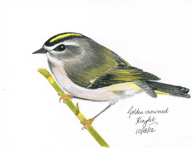 Golden-crowned Kinglet - October, 2012