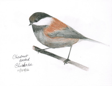 Chestnut-backed Chickadee - November, 2012