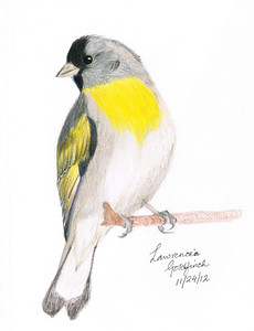 Lawrence's Goldfinch - November, 2012