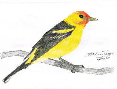 Western Tanager - September, 2012