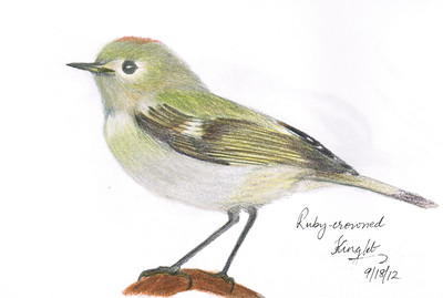 Ruby-crowned Kinglet - September, 2012
