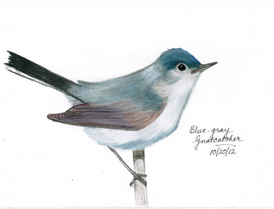 Blue-gray Gnatcatcher - October, 2012