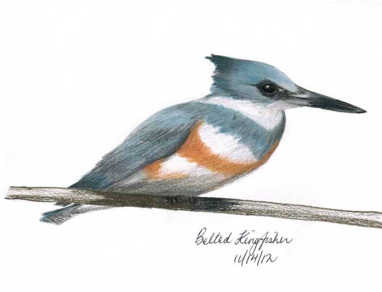 Belted Kingfisher - November, 2012