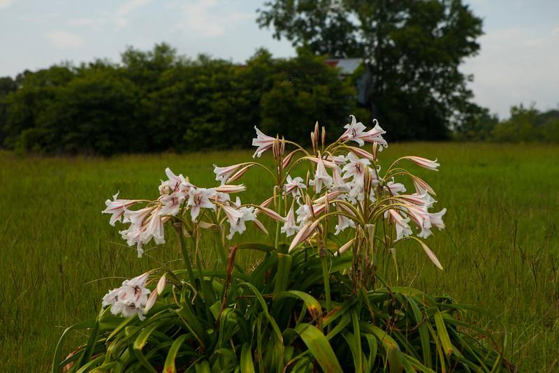 Roadside Lilies, 2012-06-14