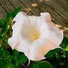 Moonflower on Deck, 2004-06-14
