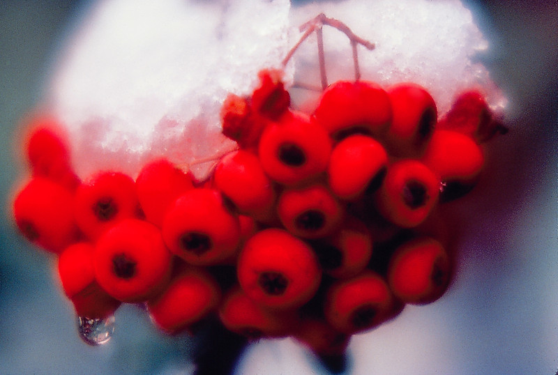 Snow on Pyrocanthia Berries in Las Vegas 1974