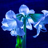 Amaryllis by Moonlight, 2008-01-29